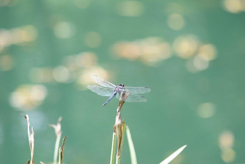 dragonfly-gibbs-garden-atlanta.jpg