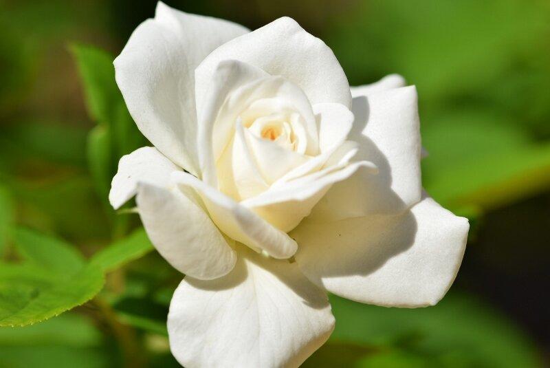 white-rose-2-gibbs-garden-atlanta.jpg