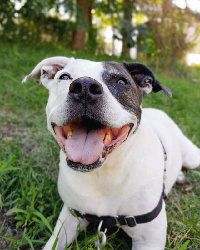 That Friday feeling 😄 (📷: our walker, Melissa) . . . #neighborhoodpaws #dogwalker #dogwalking #somervillema #somervilledogs #cambridgema #cambridgedogs #dogsofig #instapup #petcare #petservice #pitbull #pitbullsofinstagram #endbsl #bullylove