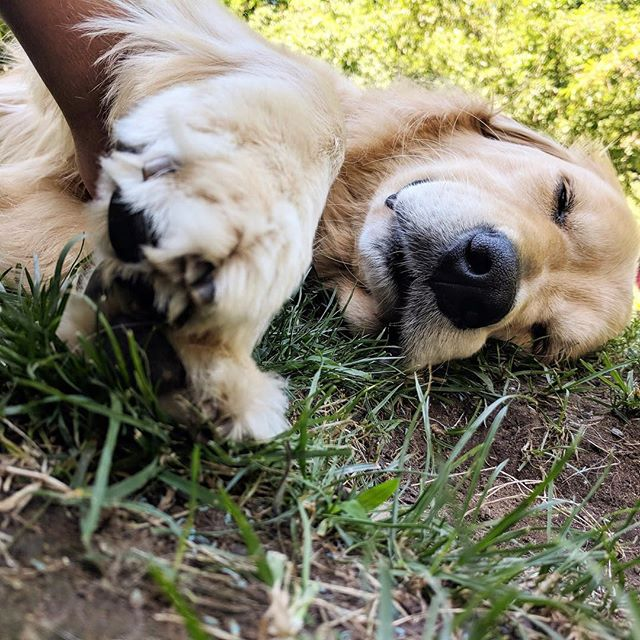 How we feel after wrapping up another adventure filled week—enjoy your weekend, everyone 💥 (📷: our walker, Angie) . . . #neighborhoodpaws #dogwalker #dogwalking #somervillema #somervilledogs #cambridgema #cambridgedogs #dogsofig #instapup #petcare #petservice #goldenretriever #goldensofinstagram #goldenretrieversofinstagram #sleepydog #tiredaf