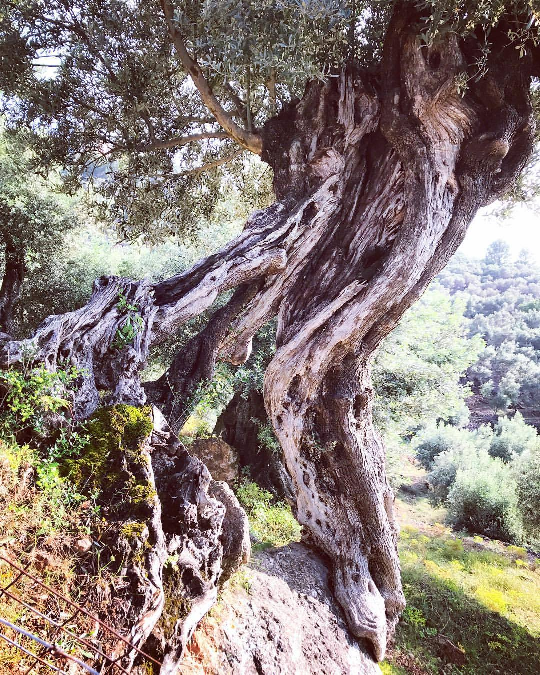 Thousand year old olive trees emanate their own energy… and the oil ain't half bad either…  -  #spain #mallorca #olivetree #oliveoil  (at Cala Deià, Mallorca)