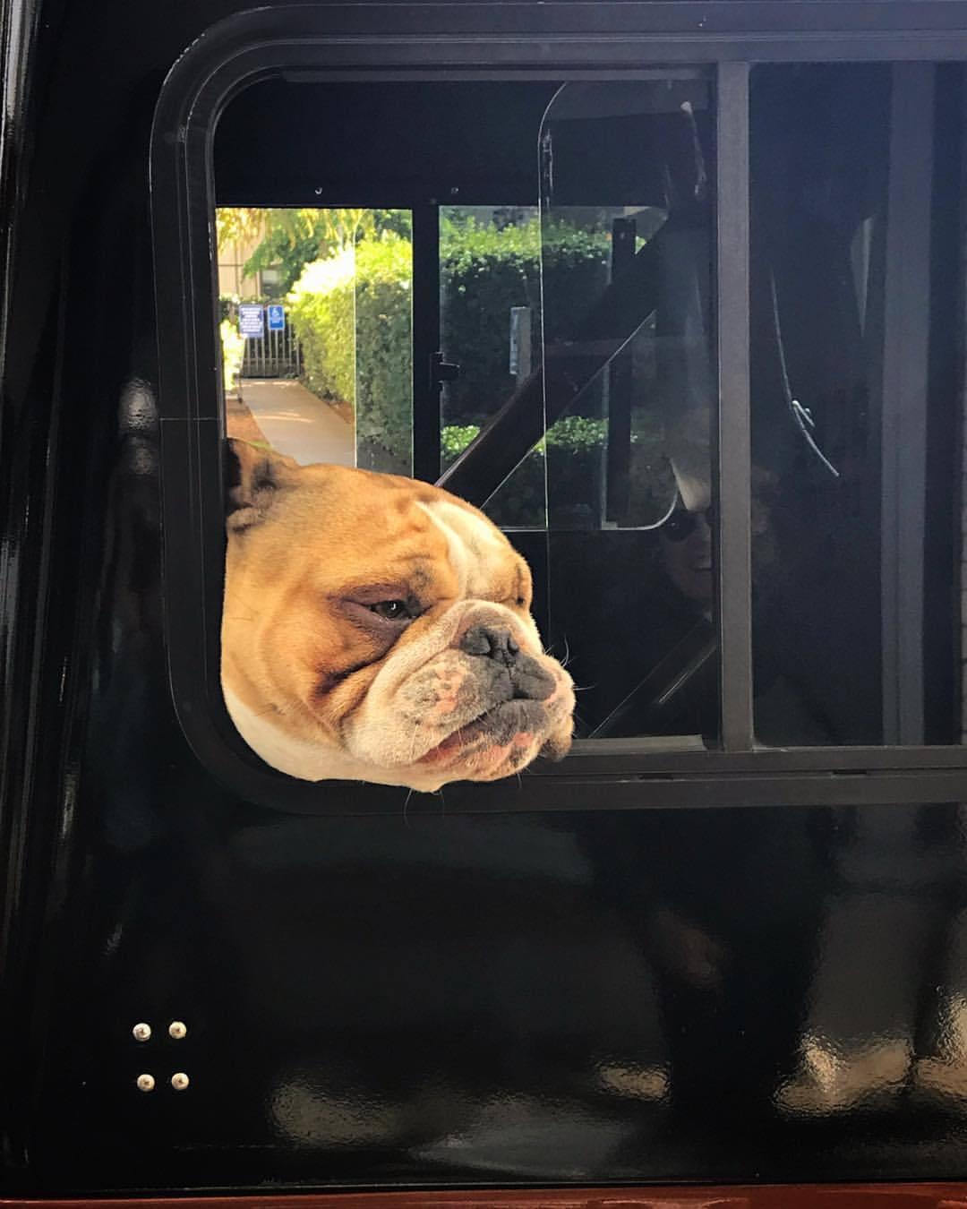 Was that Winston Churchill chilling in the back of a Jeep Cherokee?  -  #ilovedogs #bulldog #california  (at Petaluma, California)