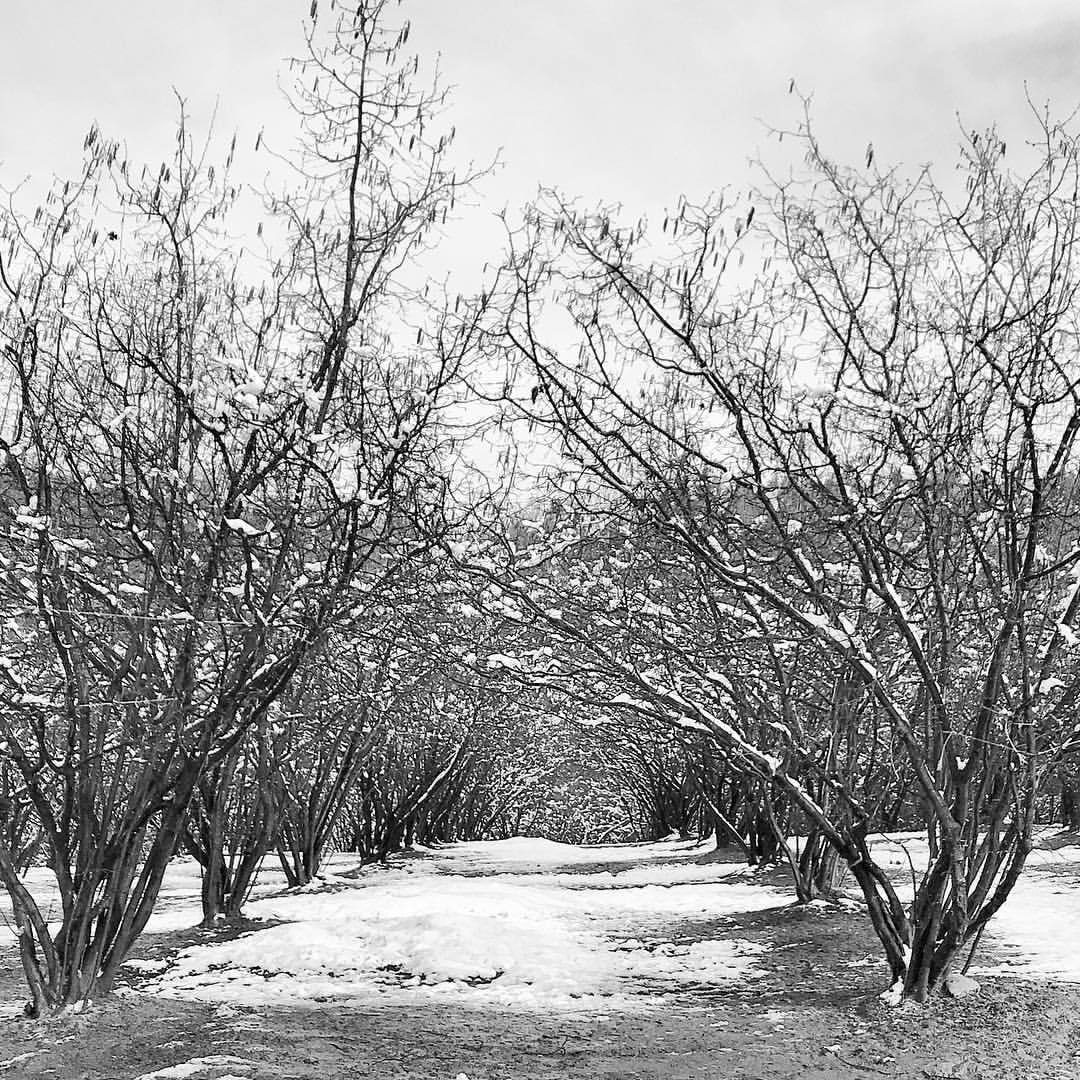 Hazelnut orchard with a frosting of snow.  -  #italy #piedmont #nocciole #orchard #winter (at Dogliani)