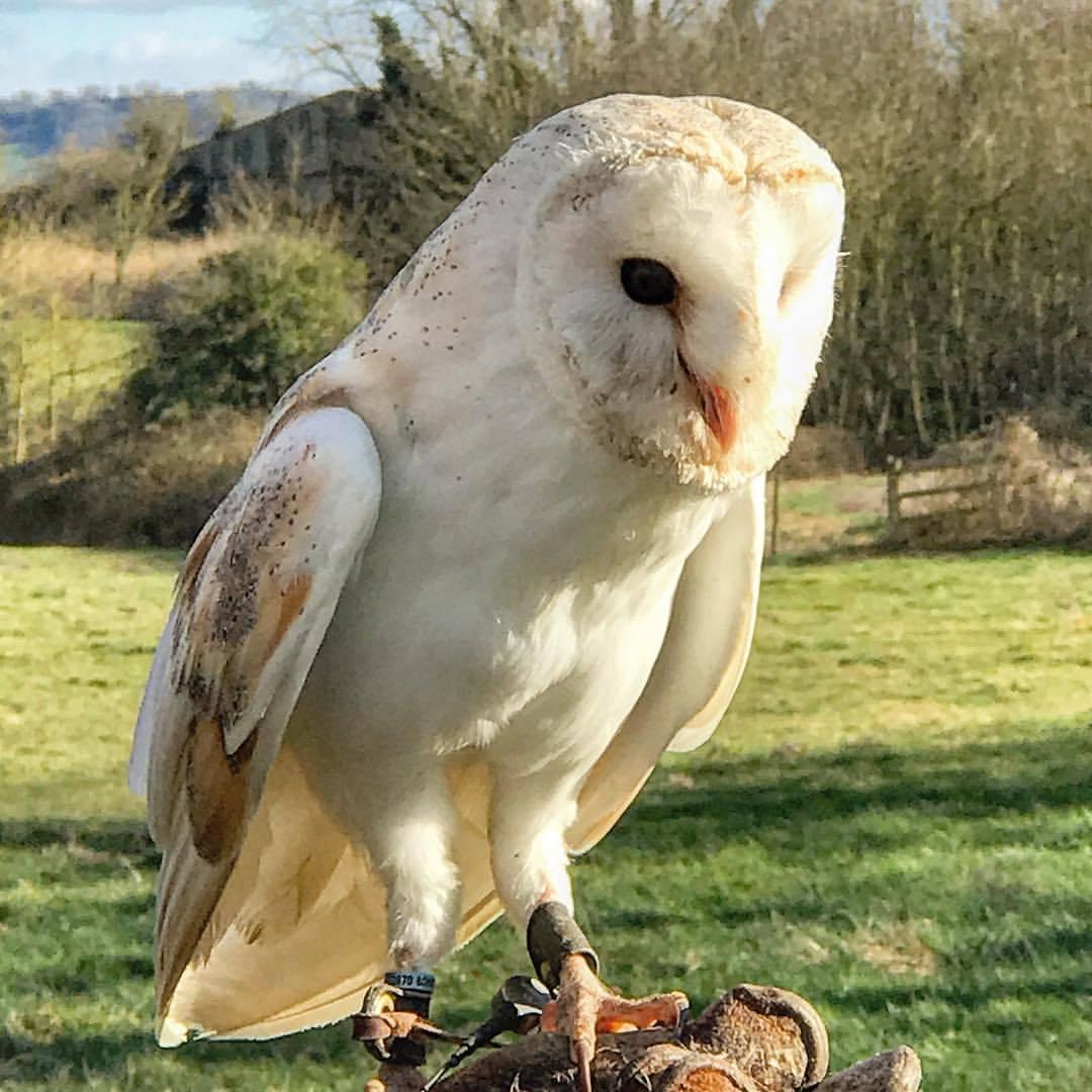 Barn owl.  -  #unitedkingdom #england #falconry #birdsofprey  (at Ben Long Falconry, Gloucester)