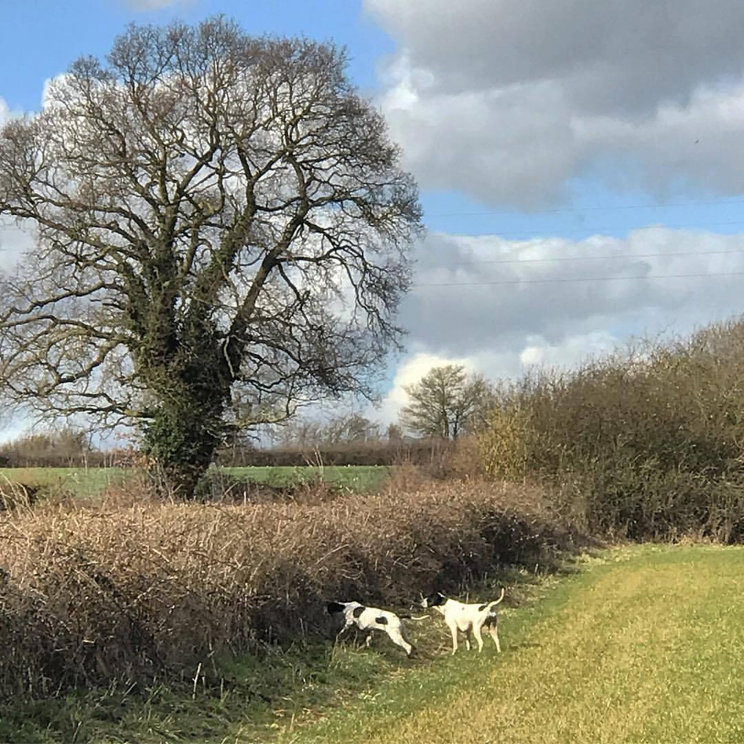 Pointers flushing partridge.  -  #unitedkingdom #england #birdhunting #birddog #falconry  (at Ben Long Falconry, Gloucester)