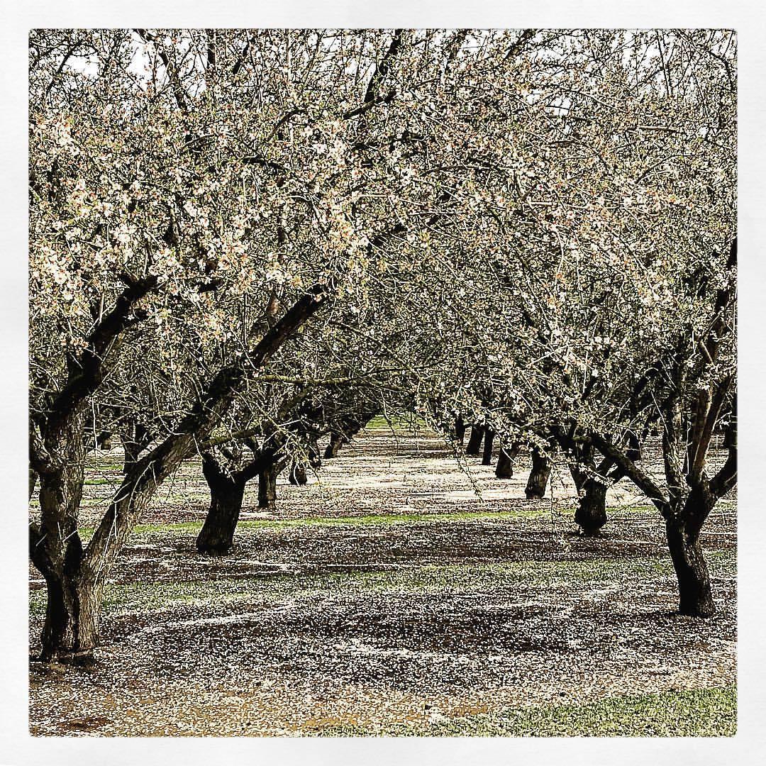 Blossoms for days.  -  #california #orchard #springtime  (at UC Davis, Sacramento)