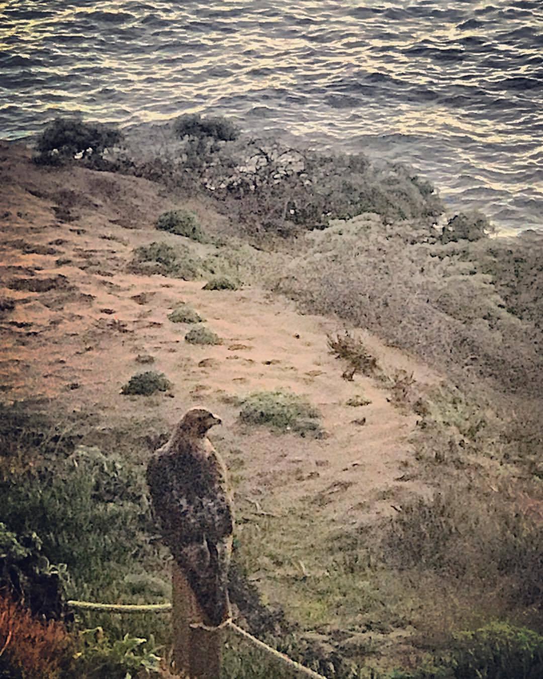 Fishing the coastline.  -  #california #ilovecalifornia #hawks #sonomacoast  (at Jenner, California)