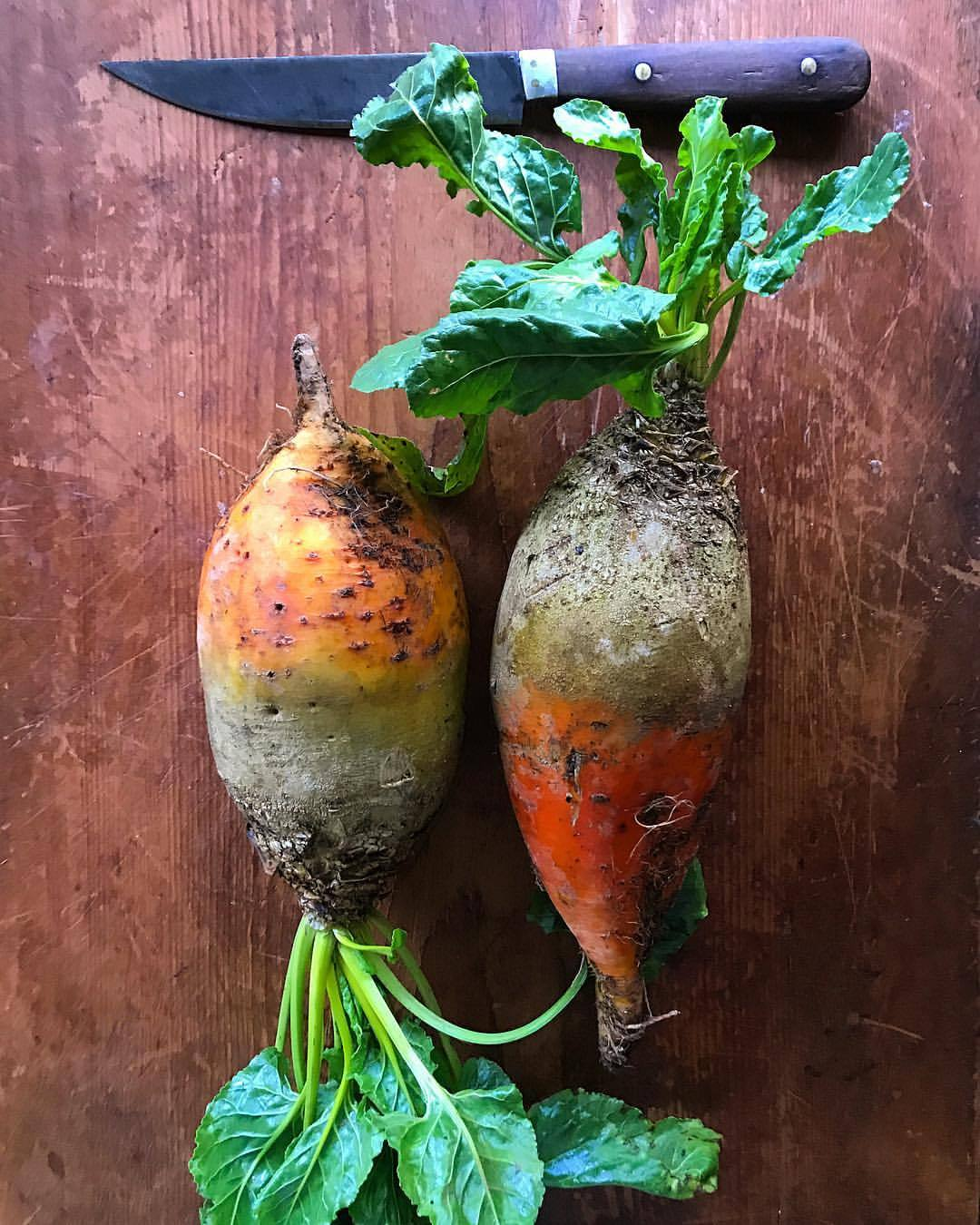Golden beets  the size of a fat toddler's forearm  buried in smoky wood coals  peeled and sliced thin,  topped with a schmear   of crème fraîche   spiked with shaved horseradish root.  -  #vegetables #woodoven #beets #sundaydinner  (at At Home in Napa)