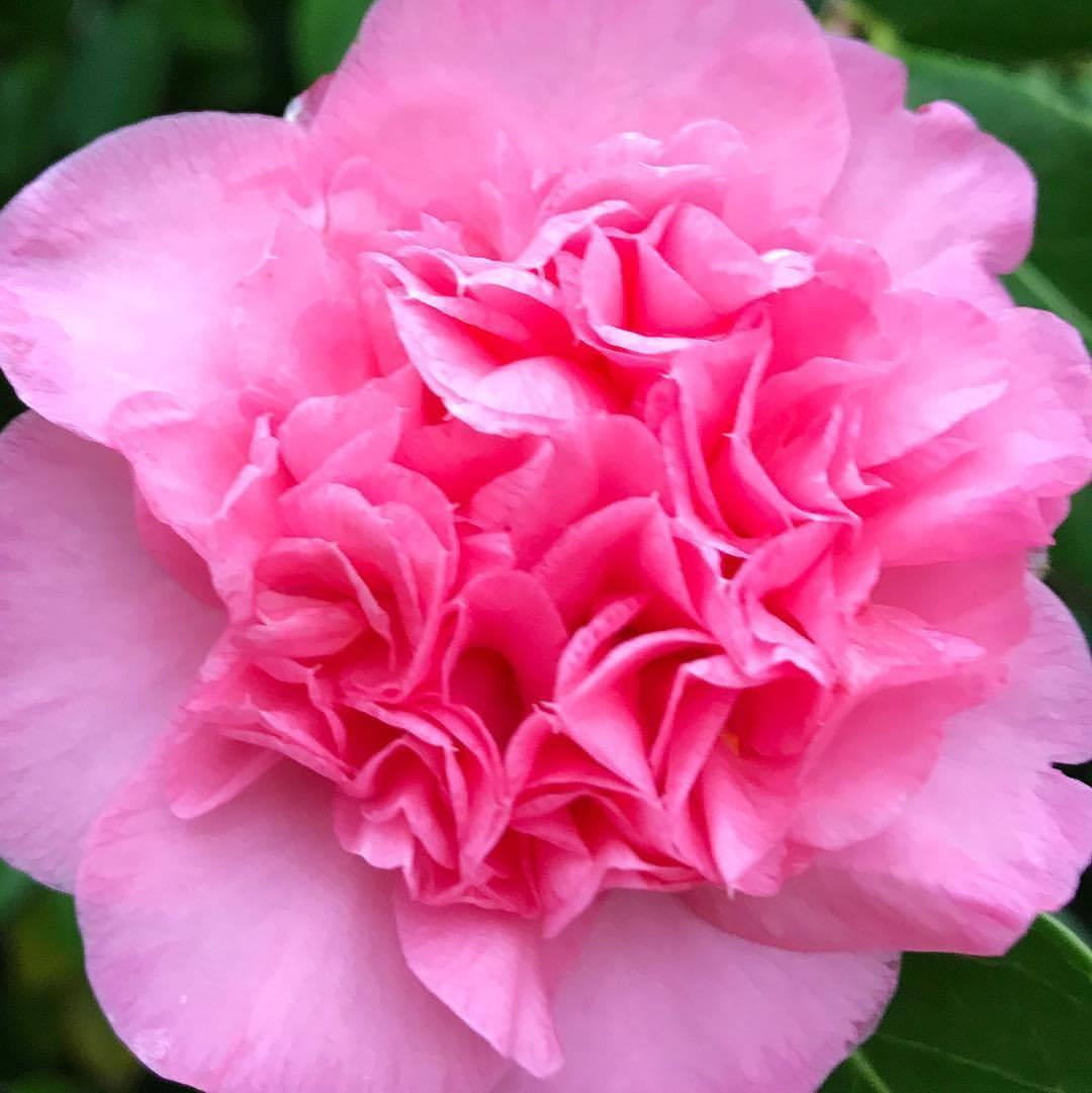 Vaguely libidinous.  -  #camellia #winterincalifornia #oldschool  (at At Home in Napa)