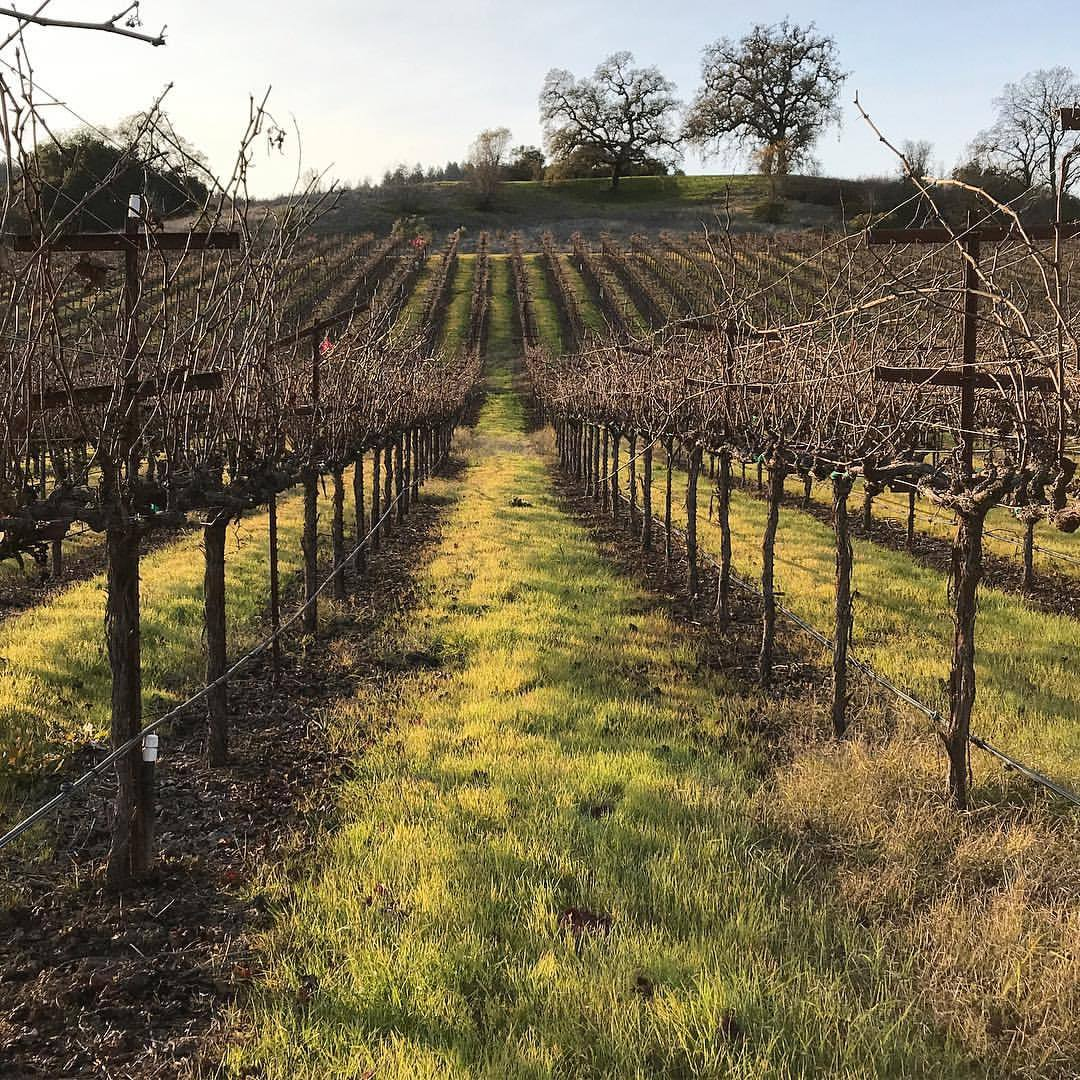 Winter vineyards.  -  #california #ilovecalifornia #sonoma #winecountry  (at Dry Creek Valley - Sonoma Wine Country)