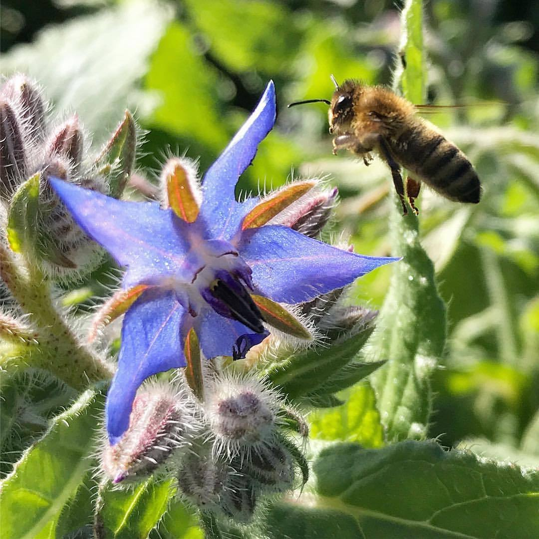 Bees and borage.  -  #honeybee #bee #beekeeping #backyardbeekeeping @napavalleybeeco  (at Kicking Bull Farms)