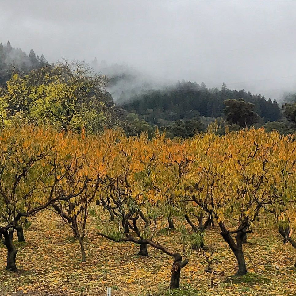 Peach orchard on a foggy morning.  -  #california #ilovecalifornia #napavalley #autumn  (at Saint Helena, California)