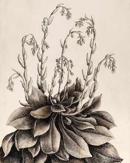 "Henrietta Shore (1880-1963)  Echeveria   signed 'H. Shore' (lower right), titled on a period label (on the backing)  graphite on paper  10""x7""  -  #art #botanical #drawing"