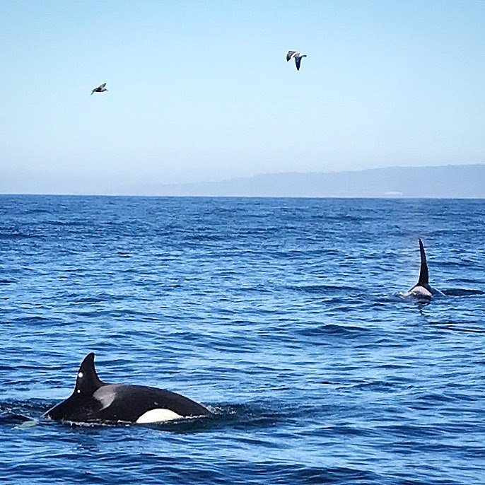 Three orca whales, a father, mother and baby, came to feed on pods of sea lions, while teaching the young calf how to hunt.  There are 350 orcas roaming the west coast of North America.  #california #whale #whalewatching #nature  (at Monterey, California)