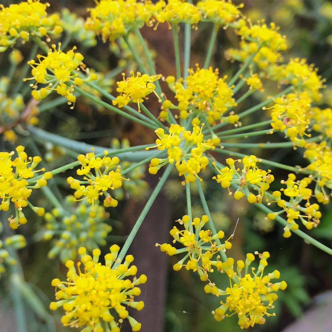 Fennel pollen.  #california #garden #foodforbees  (at At Home in Napa)