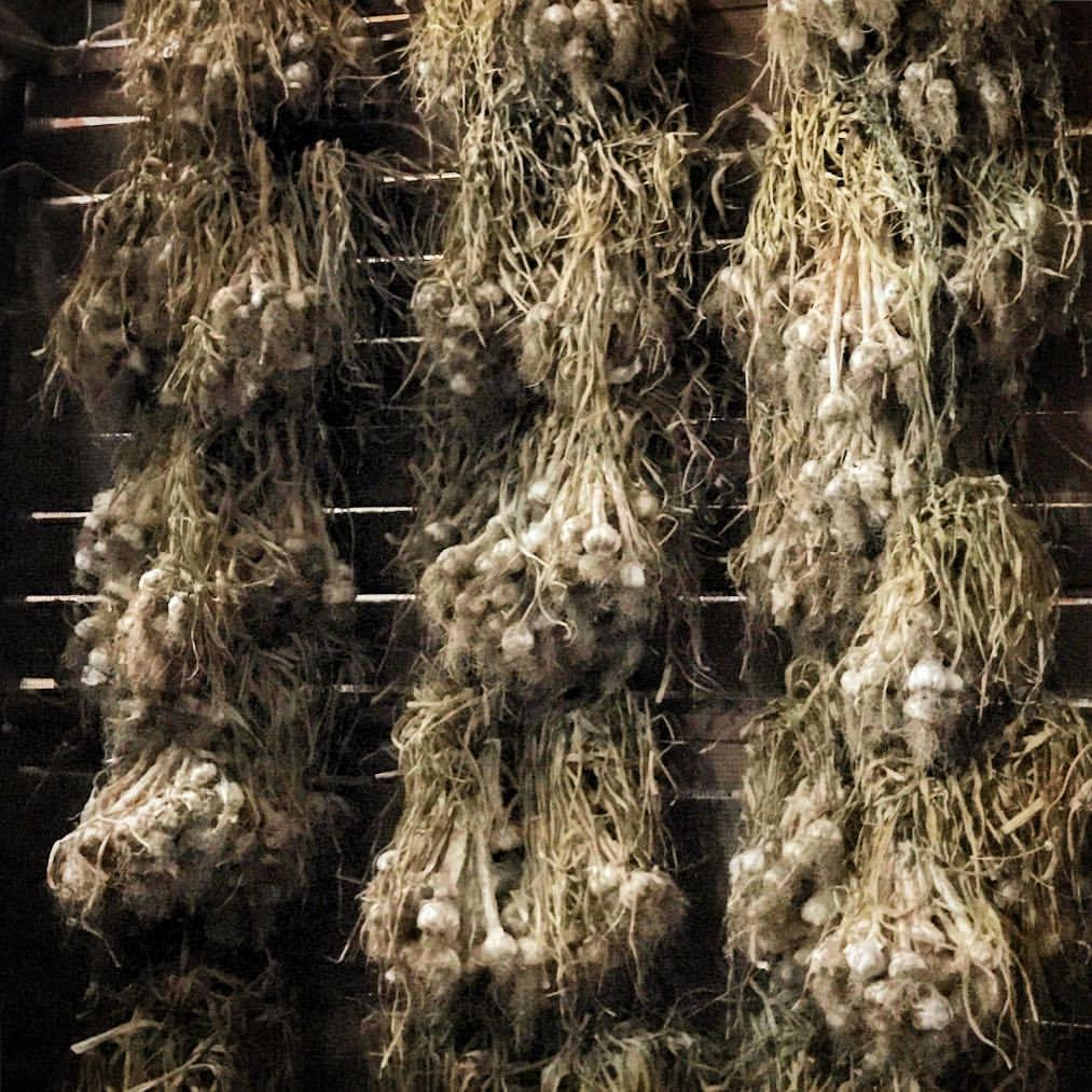 A barn wall of curing garlic to be used as seed.  -  #garlic #allium #healthyfood #organic  (at Sonoma, California)