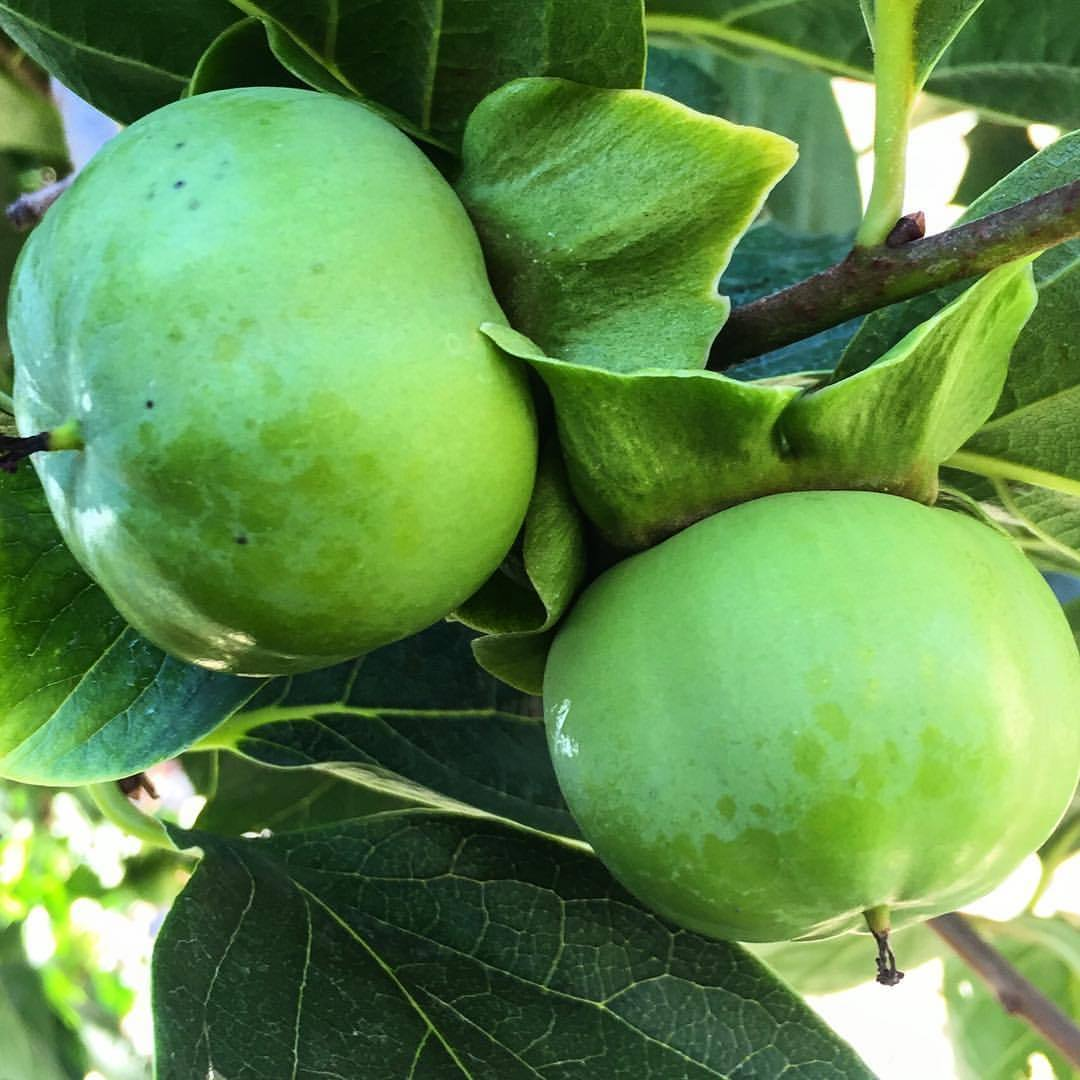 Green persimmon.  #italy #tuscany #fruittree  (at Tenuta San Pietro Lucca)