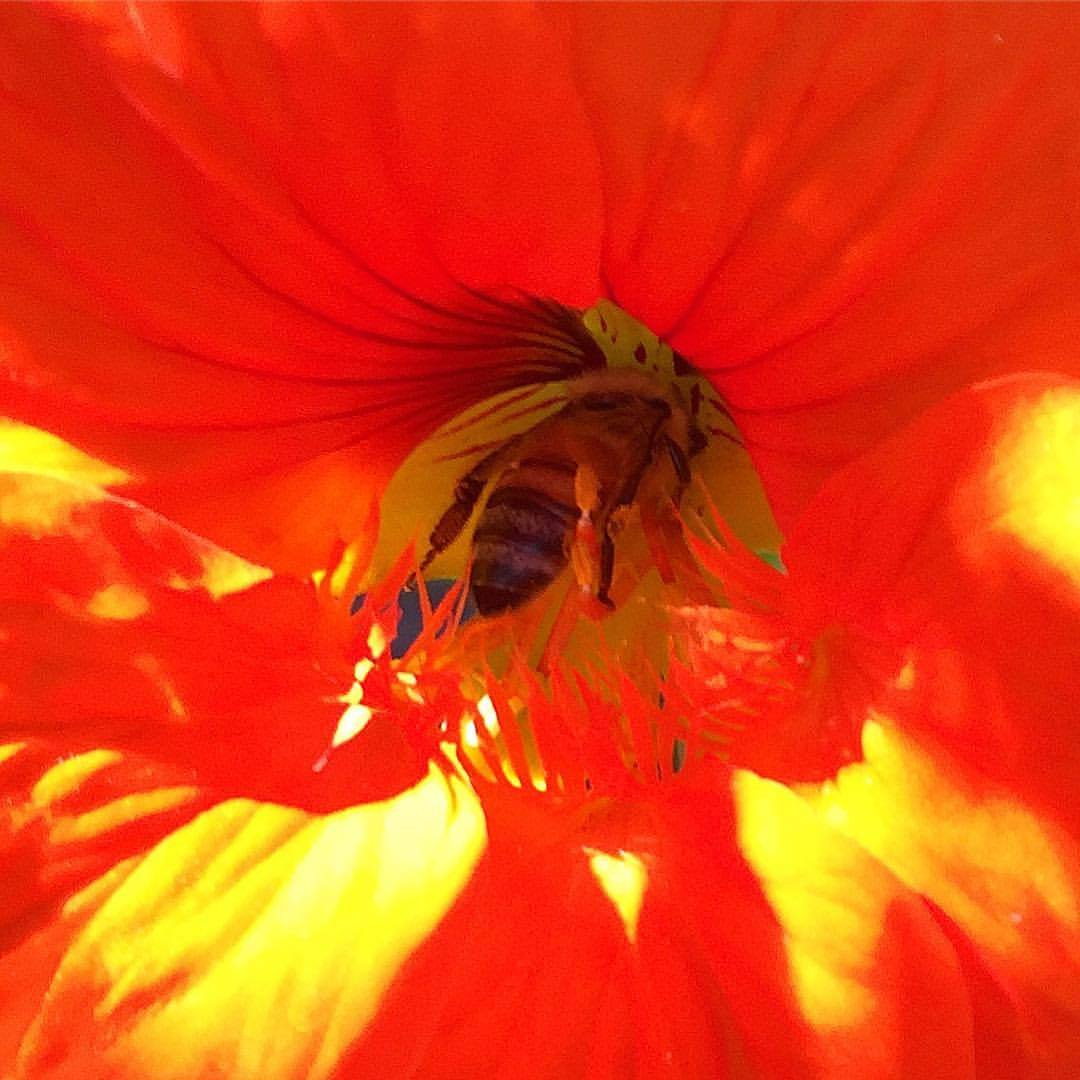 #nasturtium #foodforbees #gardening #california  (at At Home in Napa)