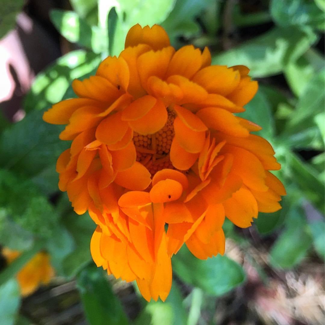 Calendula unfurling.  #california #garden #flowersforbees  (at At Home in Napa)