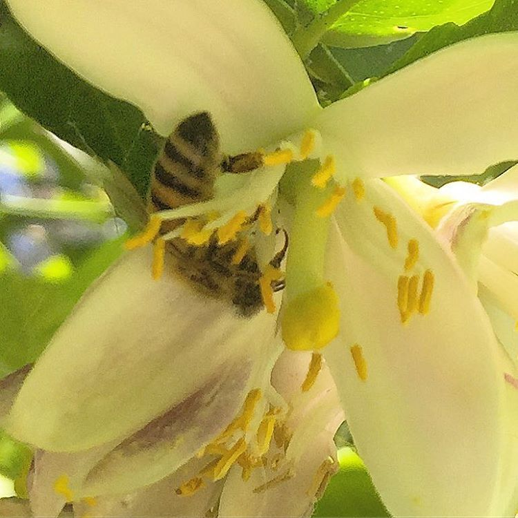 Pollinating the Meyer lemon 🍋 blossoms.    #california #gardening #bee #nature #nevergetsold  (at At Home in Napa)
