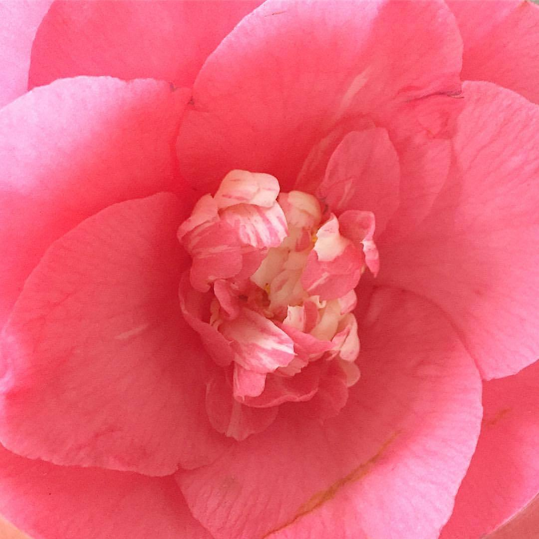 Camellia.  #valentines #nature #dailyblooms