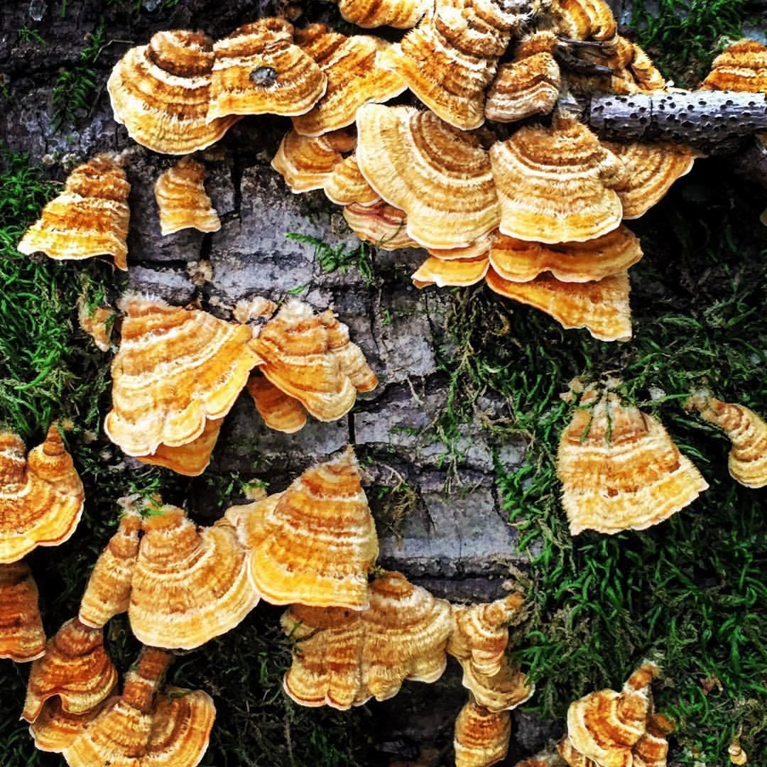 Turkey tail mushrooms (Trametes versicolor).    #california #mushrooms #fungi #nature