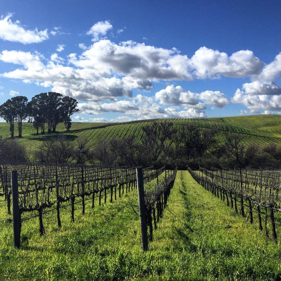 Pinot Noir vineyards in winter.  #california #pinotnoir #napavalley  (at Carneros, California)