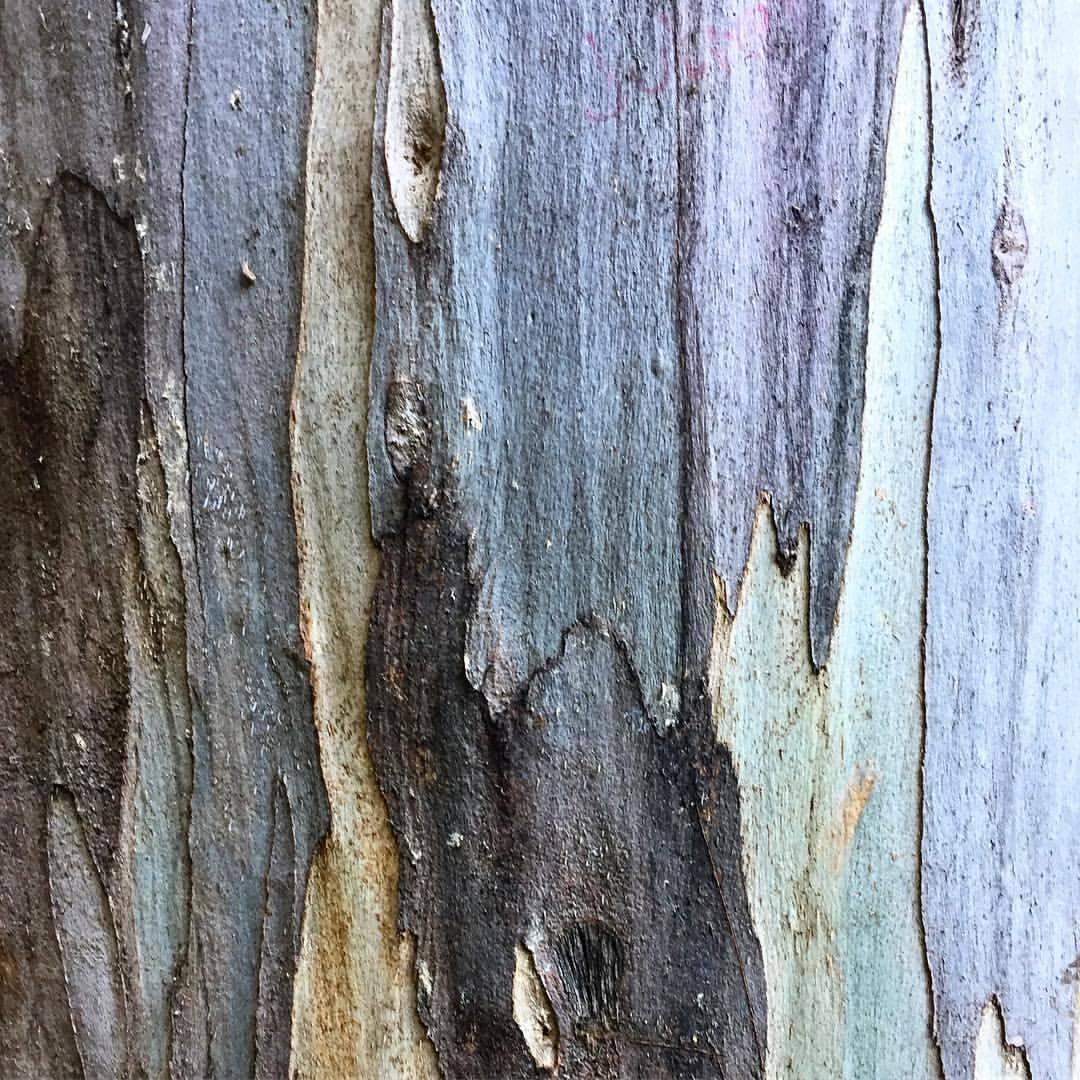 Eucalyptus bark.  #california #smellslikecalifornia #winter  (at Napa, California)