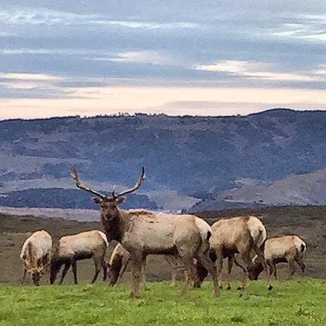 Tule elk, found only in #california.  #westmarin #nature #animalmedicine  (at Point Reyes National Seashore)