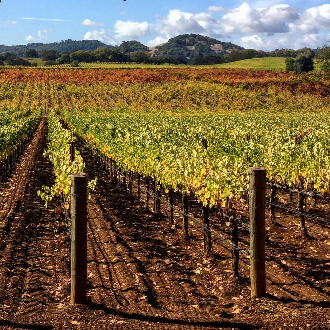 Autumn colors of a vineyard.  #california #alexandervalley #autumn  (at Alexander Valley)