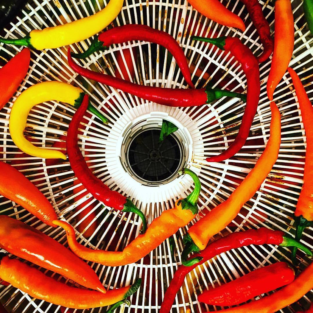 Dehydrating hot peppers fast and furious.  #hotpeppers #gardenoverload #heatforwinter  (at At Home in Napa)
