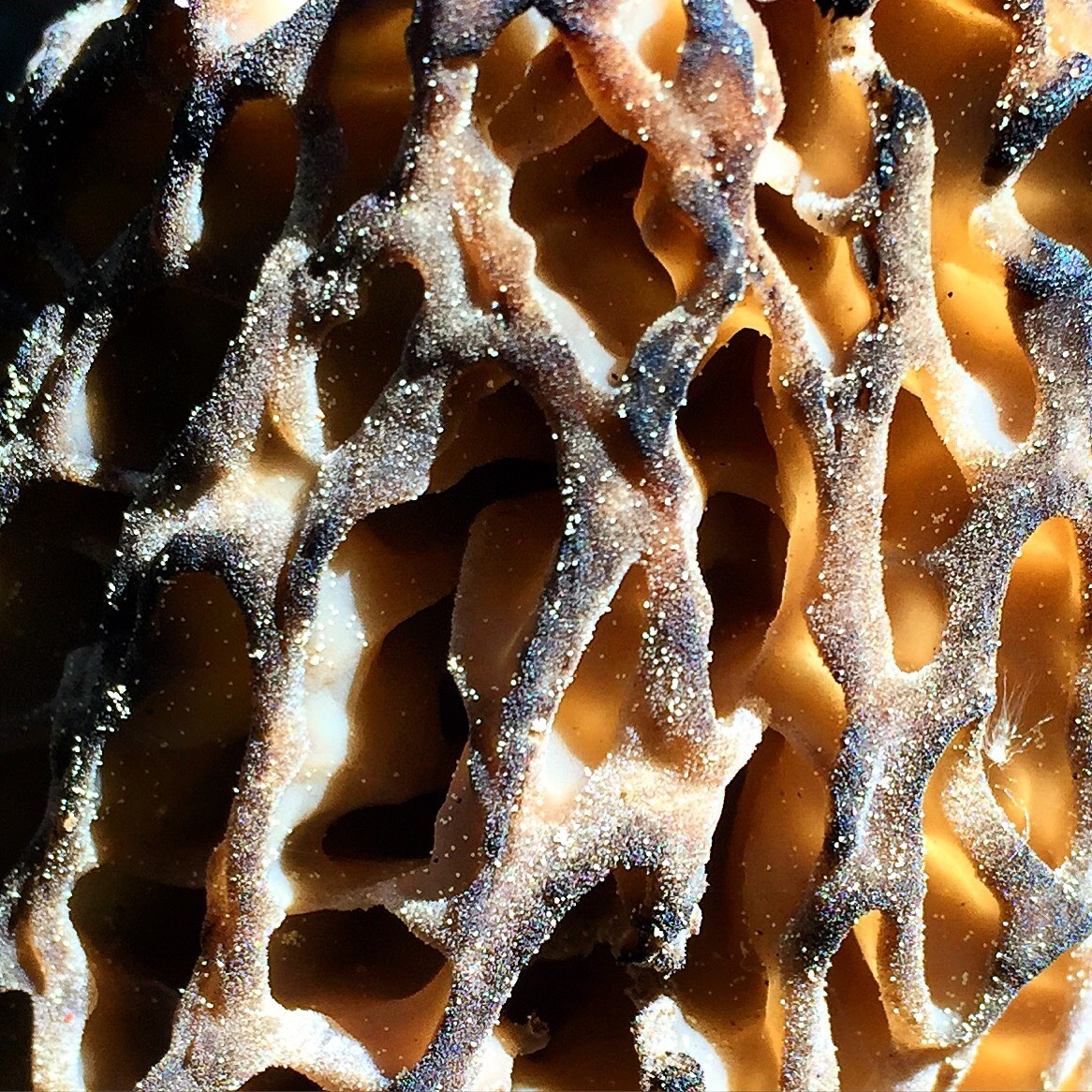 Mother Nature's honeycomb design on the black morel mushroom.
