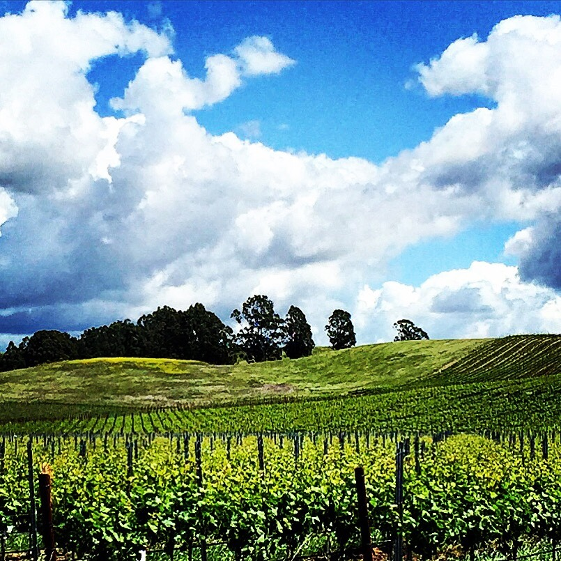 Sunday afternoon in the Pinot Noir vineyards in Carneros, Napa Valley.