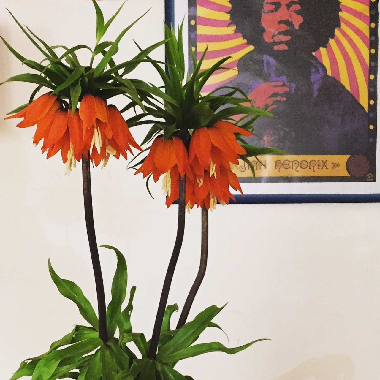 Spotted in a cafe:  Jimi Hendrix gettin' his spring on with flowering branches of Lacryma di Cristo.  Piedmont, Italy