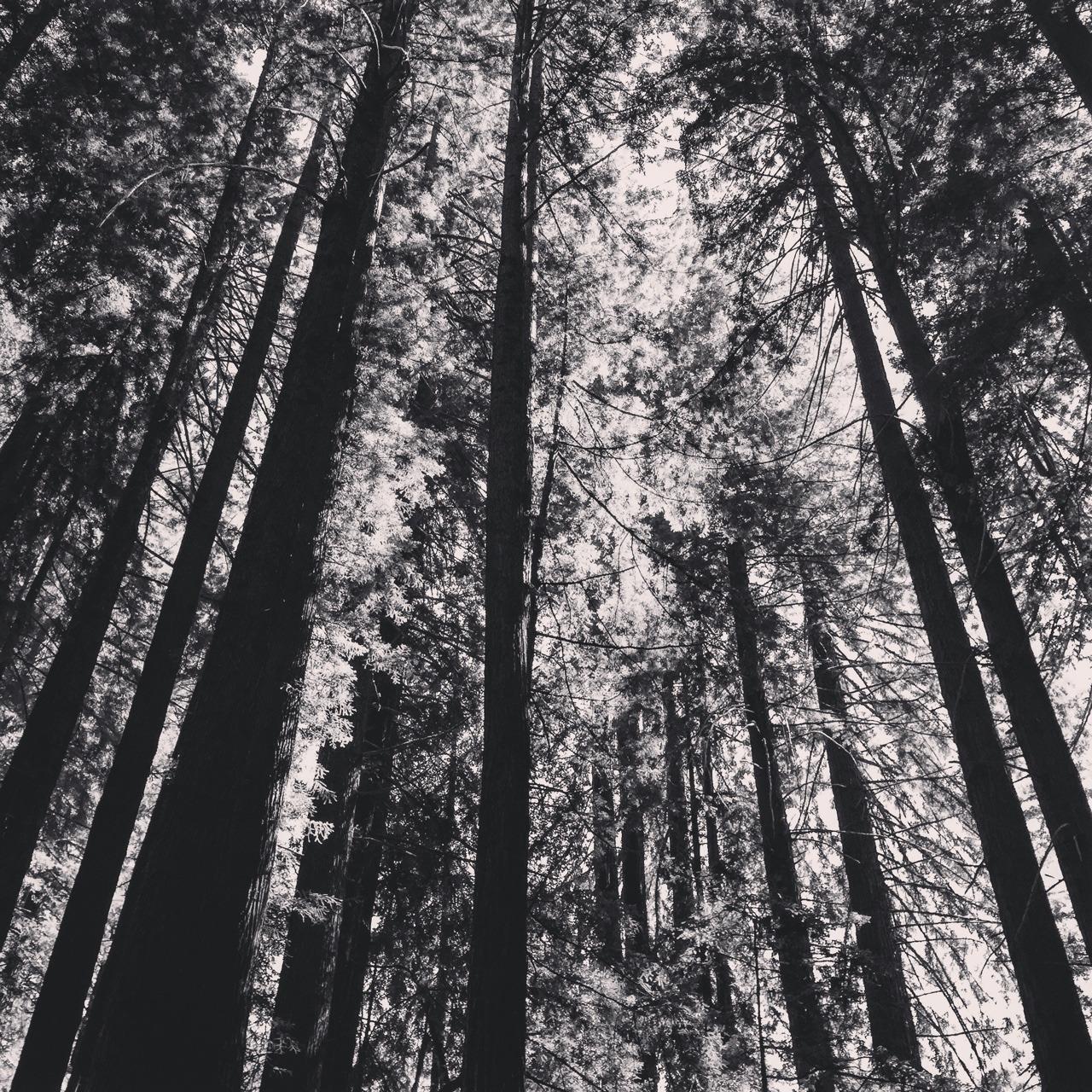 California redwoods.  Mendocino County.  #mendocino #redwoodforest #california