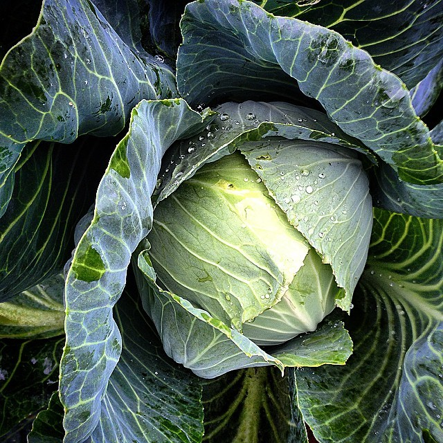 A rain-splattered, Early Jersey Wakefield cabbage in the kitchen garden of Willows Inn. (at Lummi Island, Washington)