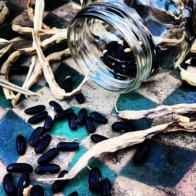 Harvesting French bean seeds from their dried pods to plant in the spring.  Time to plant the chicories and escarole for our winter soups…