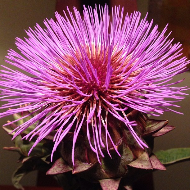 A flowering cardoon from Napa's BOCA Farm.  Color enhancement tool unnecessary… (at at home in Napa)