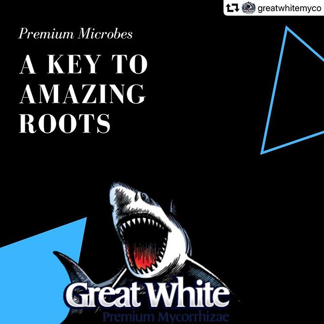 Using some of the best here at @sundial.redding! 🌱🌱🌱 #getdialed —— #repost @greatwhitemyco ・・・ Increase root surface area⠀ Breakdown and make nutrients readily available⠀ Efficiently uptake water and nutrients⠀ Reduce water and nutrient input⠀ *Create a strong, efficient root system*⠀ .⠀ .⠀ .⠀ #GreatWhite #GreatWhiteMyco #GreatWhiteRoots #wekNOWroots #allAboutTheRoots #RootPorn #MycoChum #Orca #Mycorrhizae #Beneficials #phosphorus #roots #CannabisCommunity #Cannabis #GrowYourOwn #buds #cannabisroots #roots #microbes