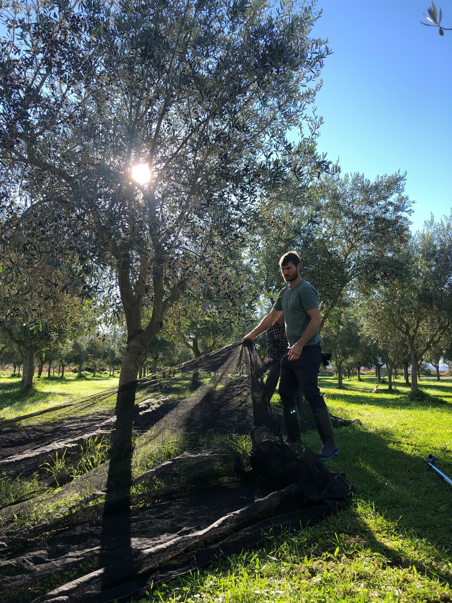 olive harvest at The Coterie