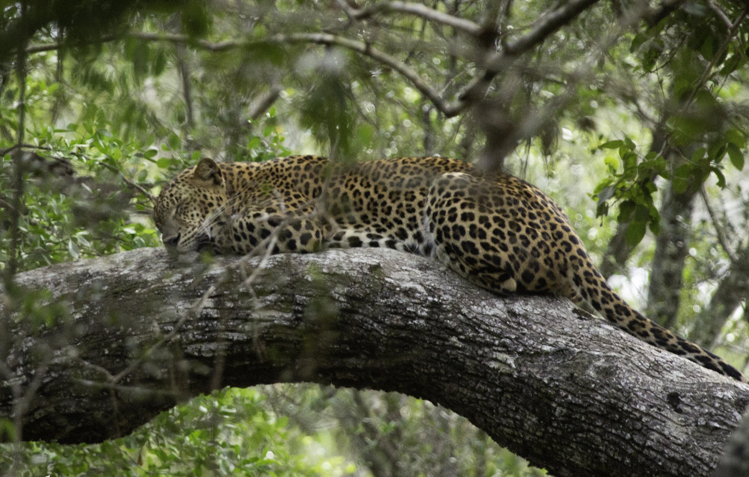 Sleeping leopard Wilpattu.jpg