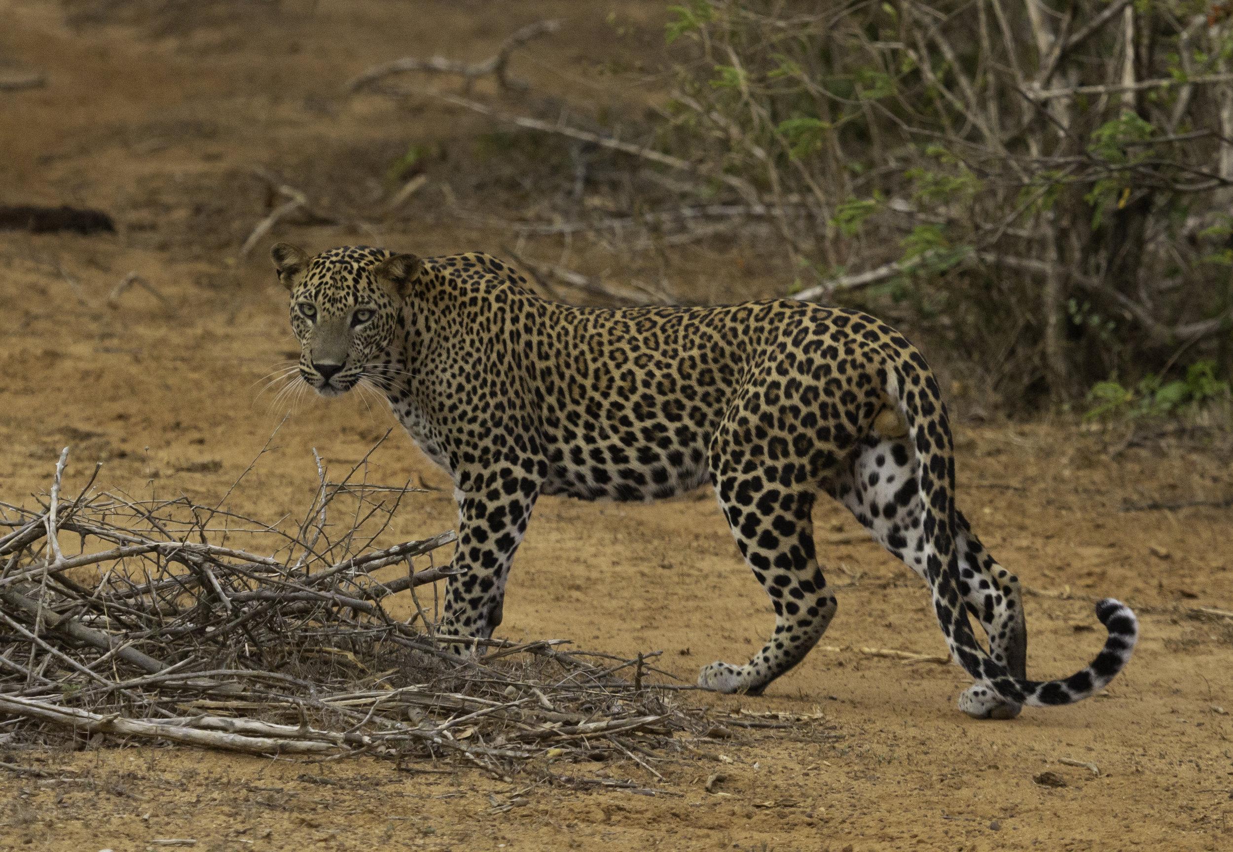 Yala Leopard.jpg
