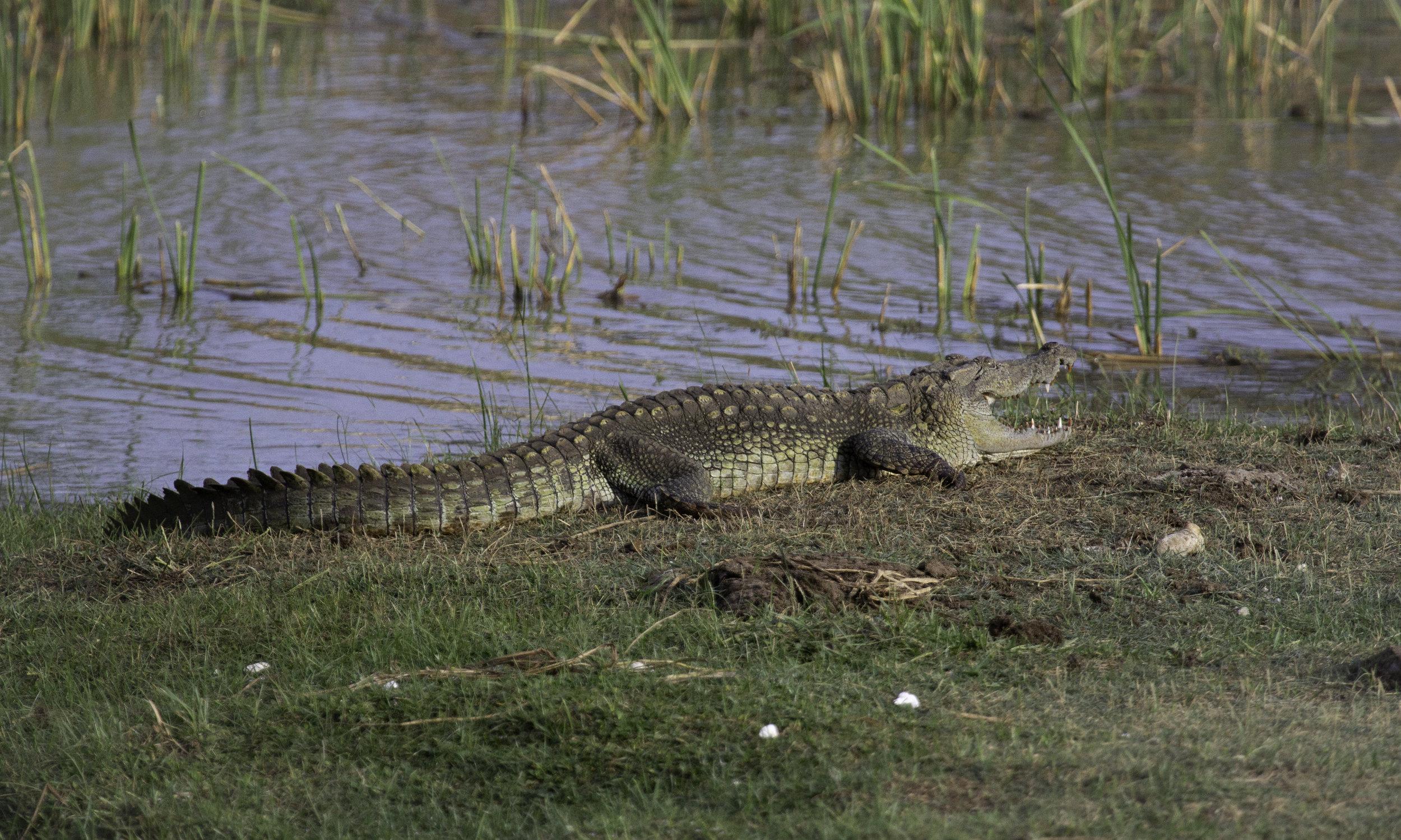 Green Croc.jpg