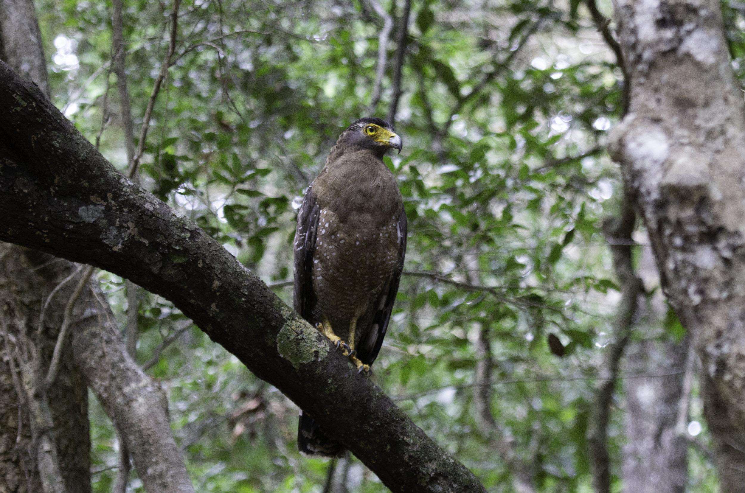 Crested serpent eagle Wilpattu.jpg