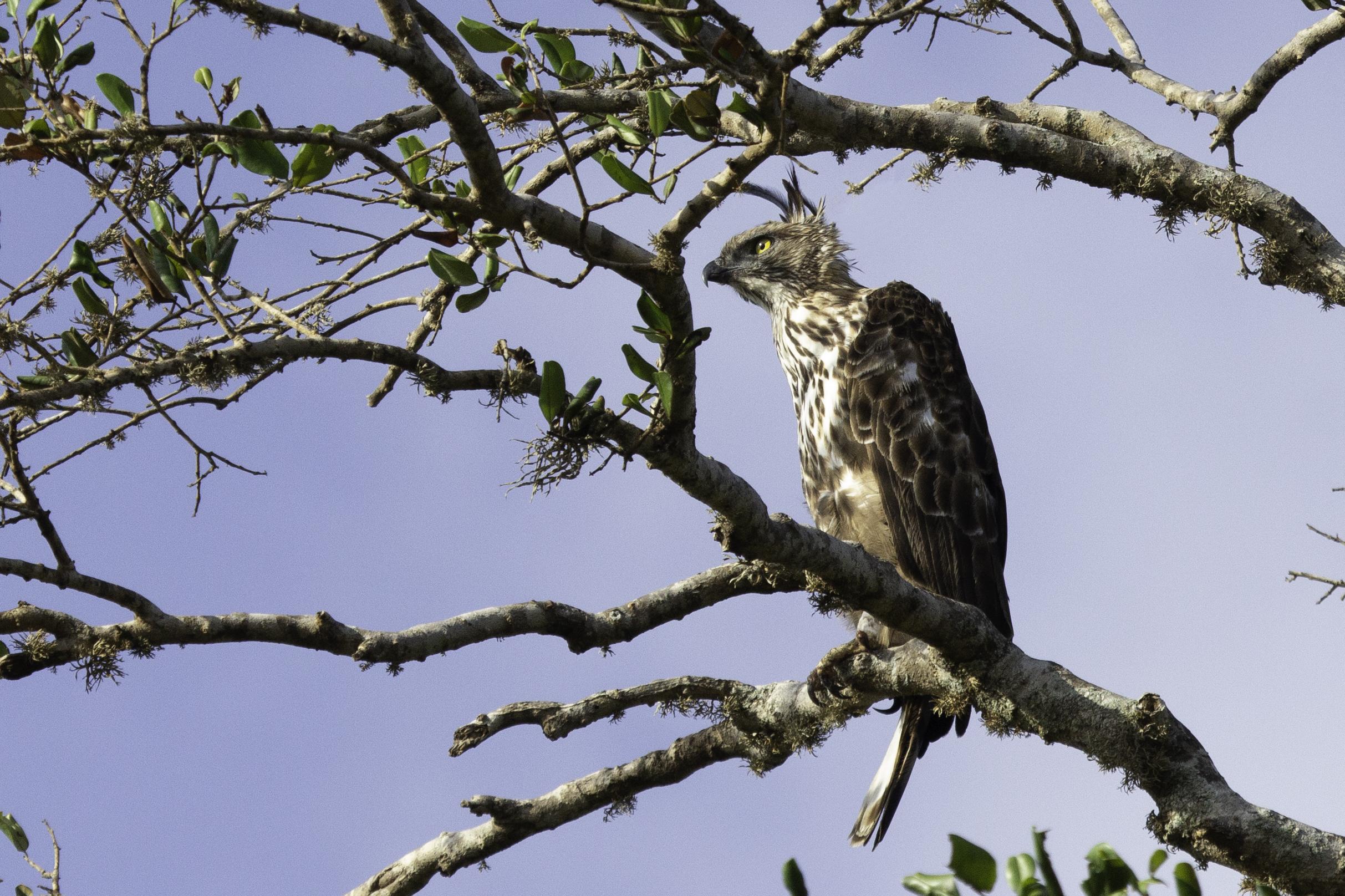 Fisher Eagle Yala.jpg