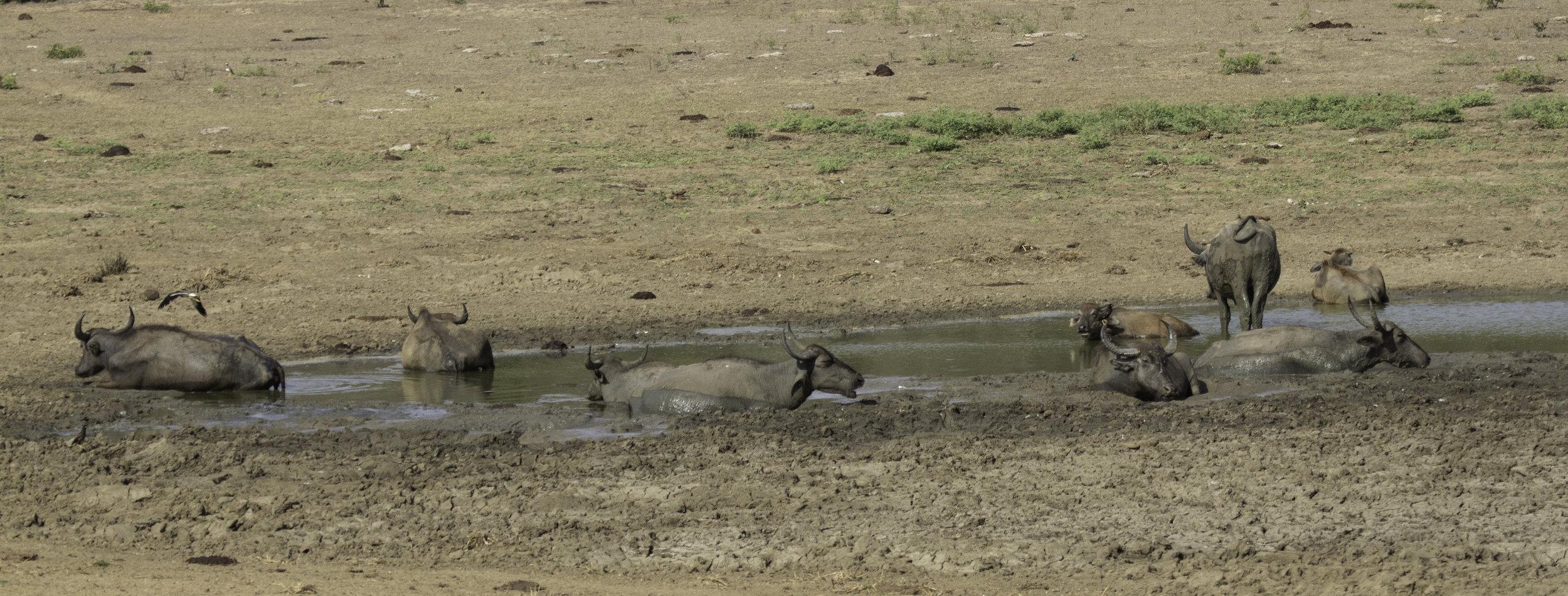 Buffalo mudlarks Yala.jpg