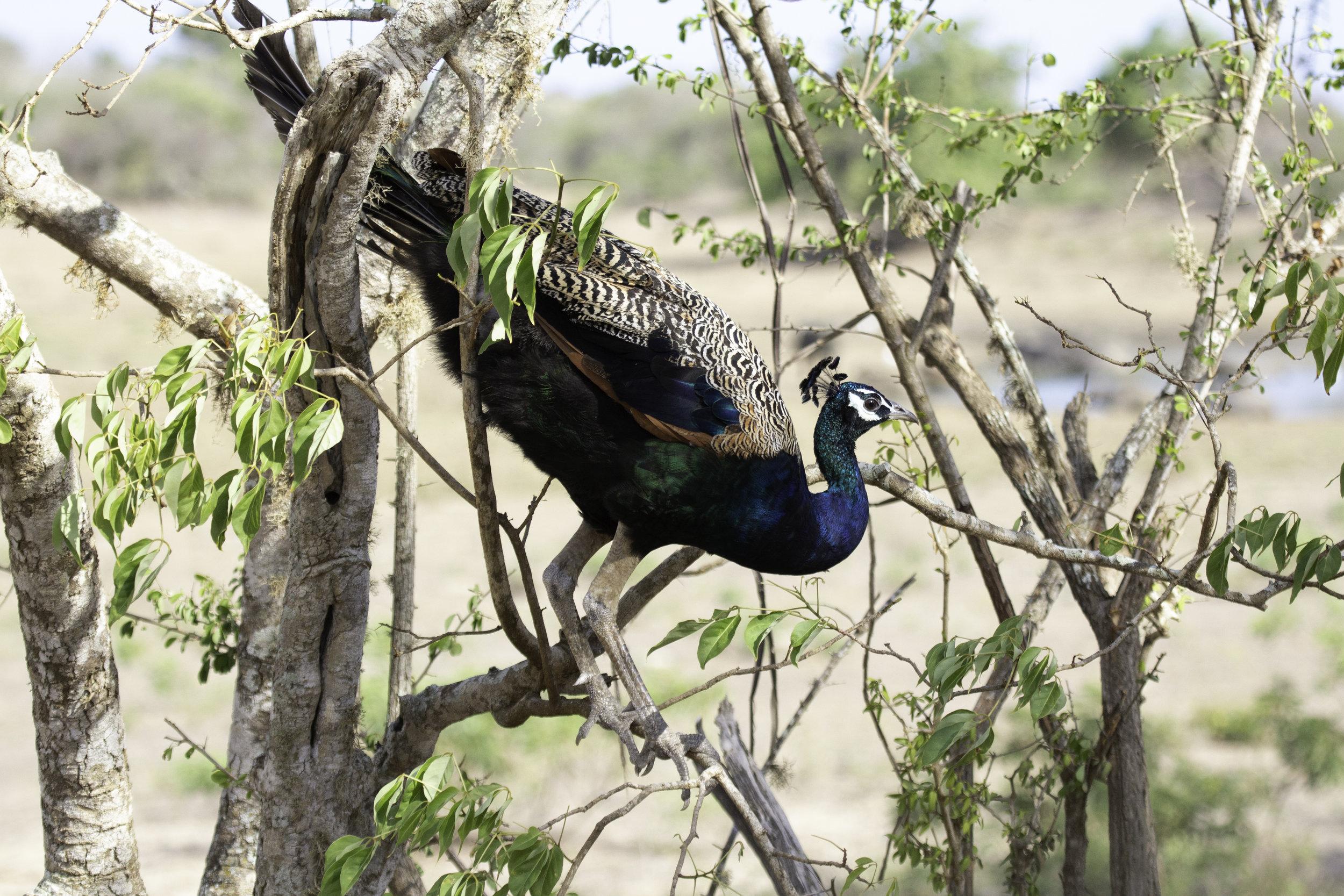 Peacock Yala.jpg