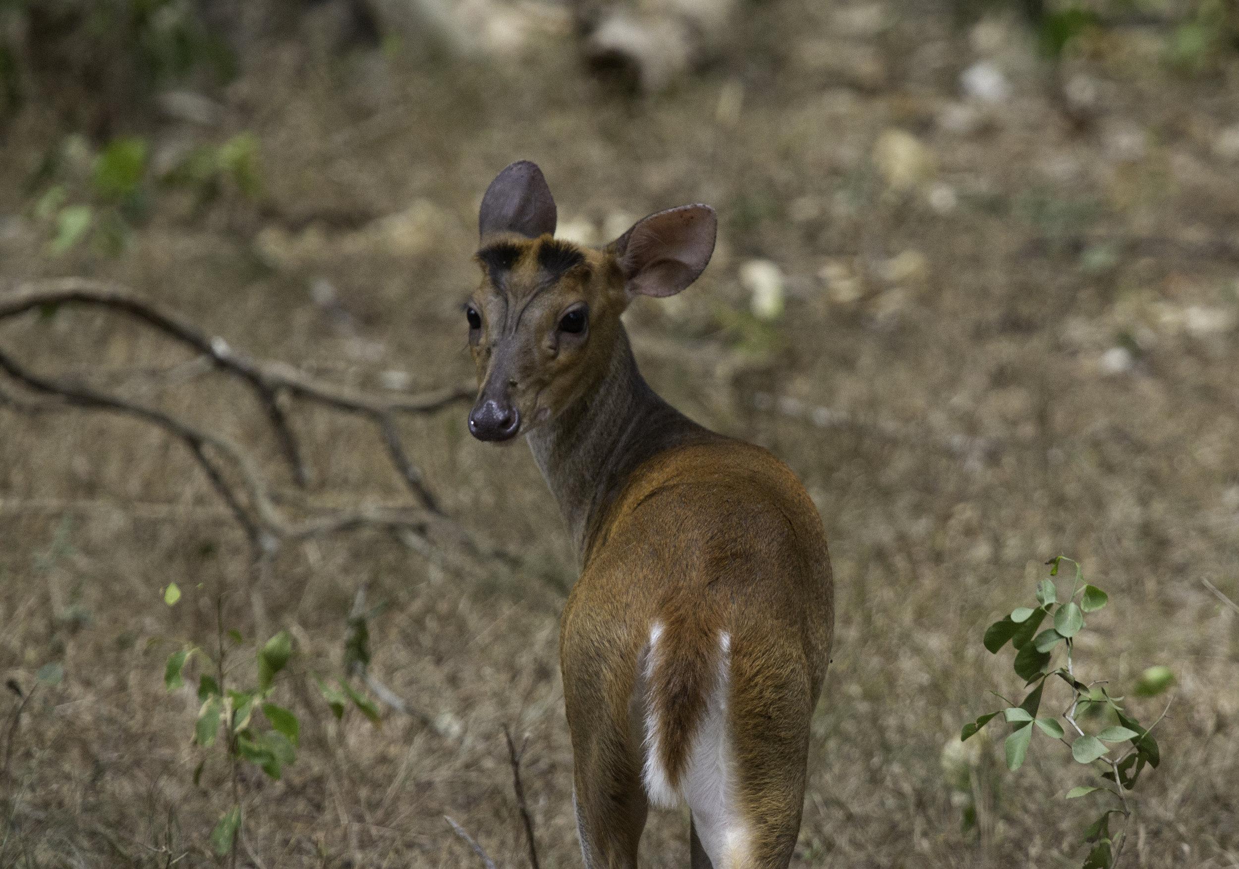 Barking Deer Wilpattu.jpg