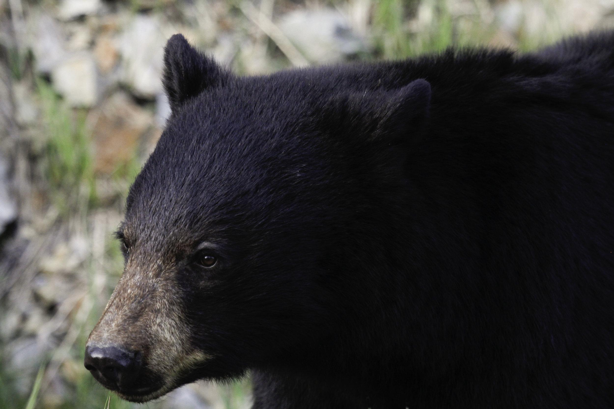 Bear closeup.jpg