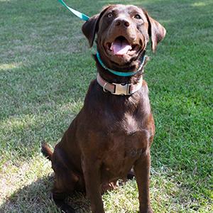 AKC Chocolate labrador retriever labrador puppies for sale